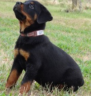 gorgeous  12 Weeks Rottweiler si to go