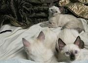 siamese kittens sweet